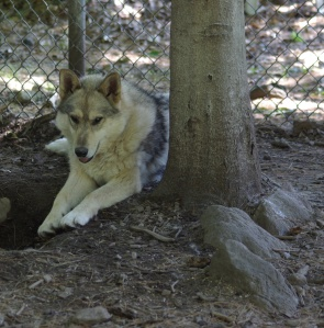 Dakota, a blind wolf, at Runs with Wolves Sanctuary